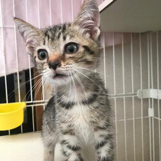 可愛いキジ子猫