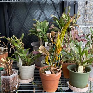 蘭、デンドロビウム、シャコバサボテンなど 鉢植え各種差し上げます