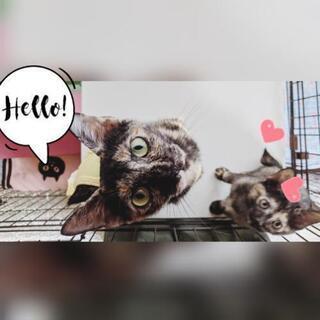 【里親様決まりました】性格美人なサビ猫さん【避妊手術済】