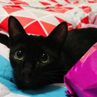 (代理募集)美猫の黒猫🎀りぼんちゃん 10ヶ月