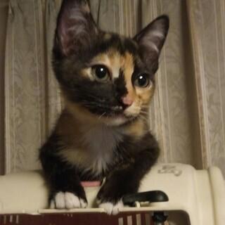 とてもかわいい三毛ちゃん♪3か月女の子。