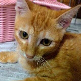 キレイな茶トラ☆3~4ヵ月の男の子