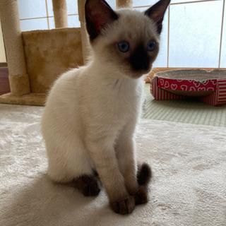 生後3ヶ月の美猫ちゃんです❗ - 石巻市