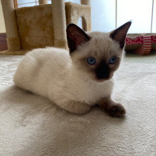 生後3ヶ月の美猫ちゃんです❗ - 猫