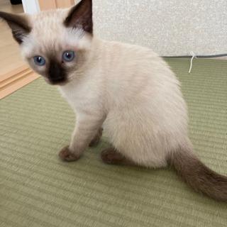 生後3ヶ月の美猫ちゃんです❗ - 里親募集