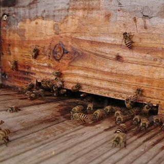 日本蜜蜂の分蜂群