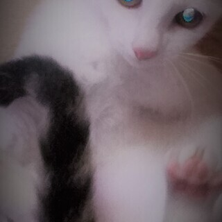 美しく健康的な仔猫ちゃんの里親さま大募集