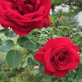 バラ愛好家にツルバラを差し上げます。