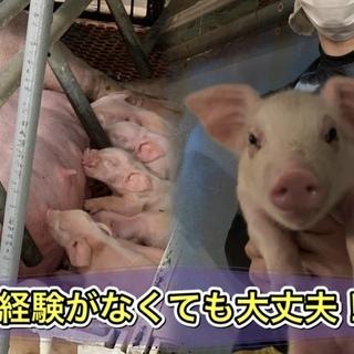 豚の飼育管理スタッフ