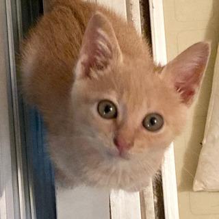 【トライアル中】約6週齢の茶トラのオスの子猫の里親募集