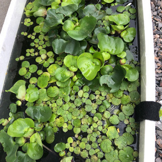 布袋草、浮草、ちびめか、ヒメタニシ