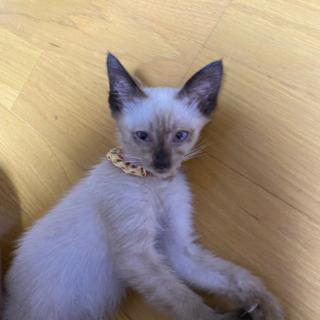生後2ヶ月(♀)の子猫譲ります