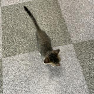 お話中!里親募集!1ヶ月位のキジ仔猫