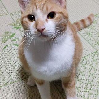 かわいい茶白の男の子♪生後8ヶ月くらい