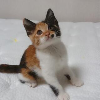 【三毛猫♀】生後1ヶ月半 体重600gの元気な甘えん坊です