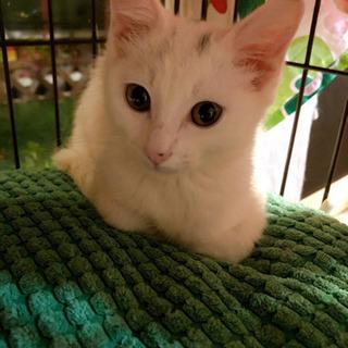 白猫美少女 生後3ヶ月