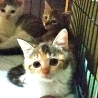 三毛猫 たえちゃん  女の子  1.5ヶ月