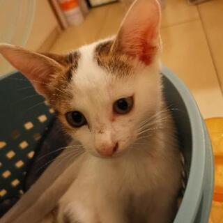 白きじ生後2ヶ月の子猫 - 猫