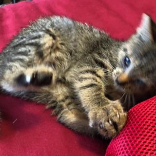 【引渡し完了しました】急募!拾い猫 2ヶ月くらいの子猫