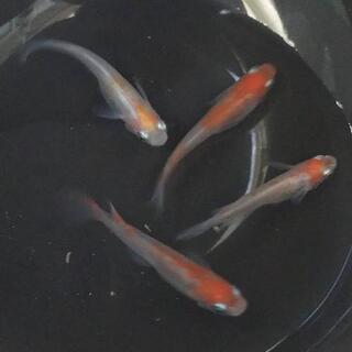 透明鱗紅白(稚魚)