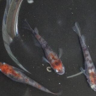 透明鱗3色(稚魚)