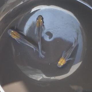 丹頂黒オーロラ黄タイプ丹頂(稚魚)