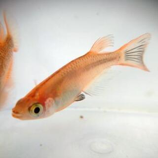 オーロラオレンジ(稚魚)
