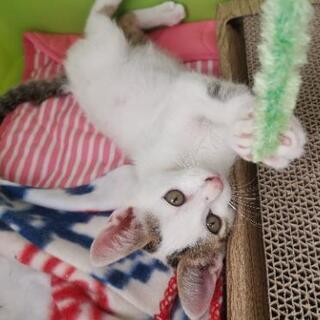 白きじ生後2ヶ月の子猫 − 埼玉県