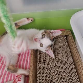 白きじ生後2ヶ月の子猫 - 里親募集