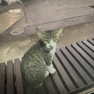 里親募集 とっても甘えん坊な子猫です。