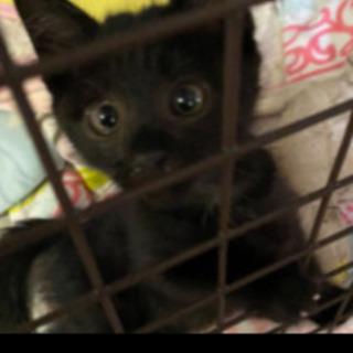 黒猫ちゃん大人しく人懐こい1ヶ月ぐらい