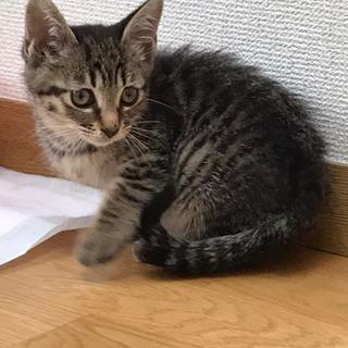 ★子猫譲ります★キジトラ2ヶ月★里親募集!