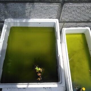 金魚、メダカの水槽にグリーンウォーターと水草