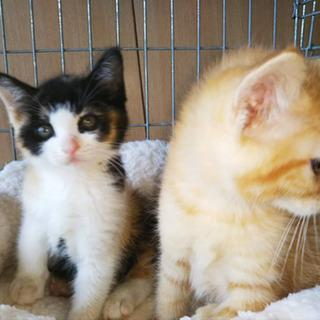 生後4ヶ月♡三毛猫♀ − 鳥取県
