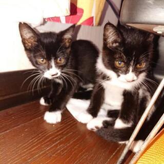 急募!2ヶ月半子猫保護しました