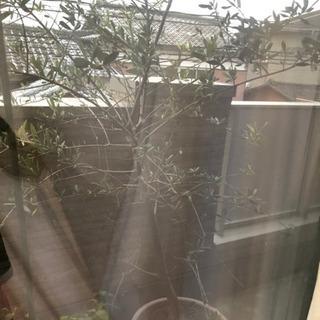 オリーブの木 決まりました