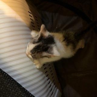 生後2か月くらいの子猫(おそらくメス)