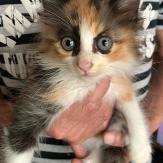 生後2ヶ月の子猫ちゃん。里親を募集しています。
