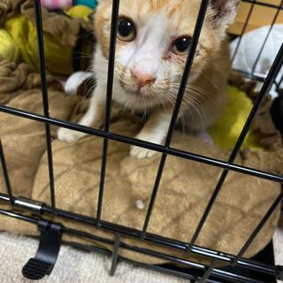 茶白の三ヶ月くらいの猫ちゃんです