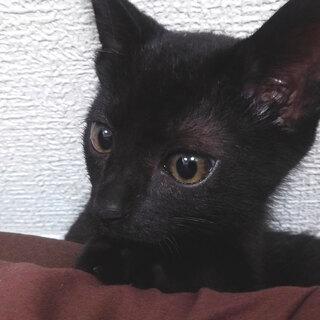 生後3ヶ月の黒猫 オス ワクチン接種済み
