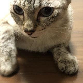 【急募】里親募集 人懐っこい猫です