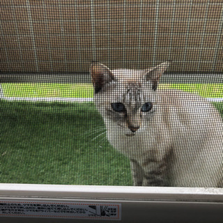【急募】里親募集 人懐っこい猫です - 里親募集