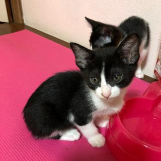 【生後2ヶ月の子猫】里親募集します😺オス、白黒
