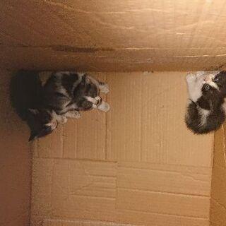緊急!生後2ヶ月位の子猫の里親募集