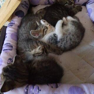 生後8週くらいの子猫の里親さん募集