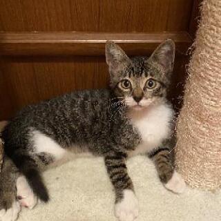 トライアル中☆キジシロの元気な子猫