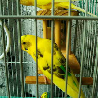 インコ 3羽