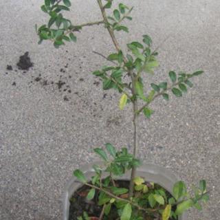 100円 犬柘植の苗木