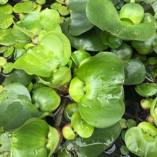 布袋草、浮草、子メダカ、タニシ