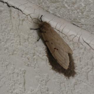 マイマイガ(蛾)の駆除、外壁の卵の除去作業